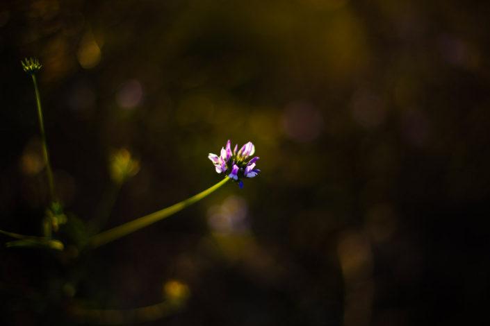 essai photo macro fleur des champs